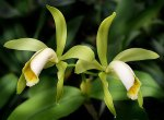 Cattleya forbesii alba