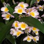 dendrobium_farmerii_big