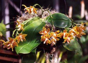 Phalaenopsis_amboinensis_bi