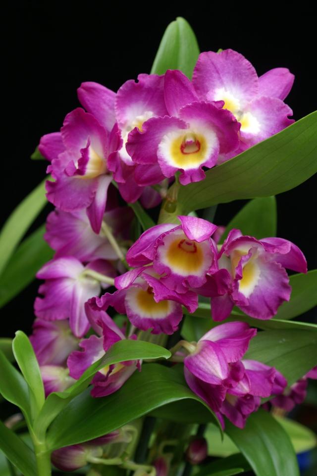 Dendrobium nobilehybrid