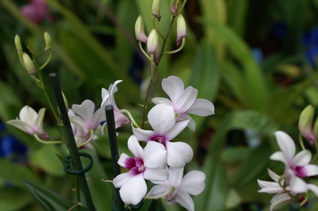 Minihybrid av Dendrobiumphalaenopsis