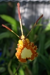 Psychopsis butterfly