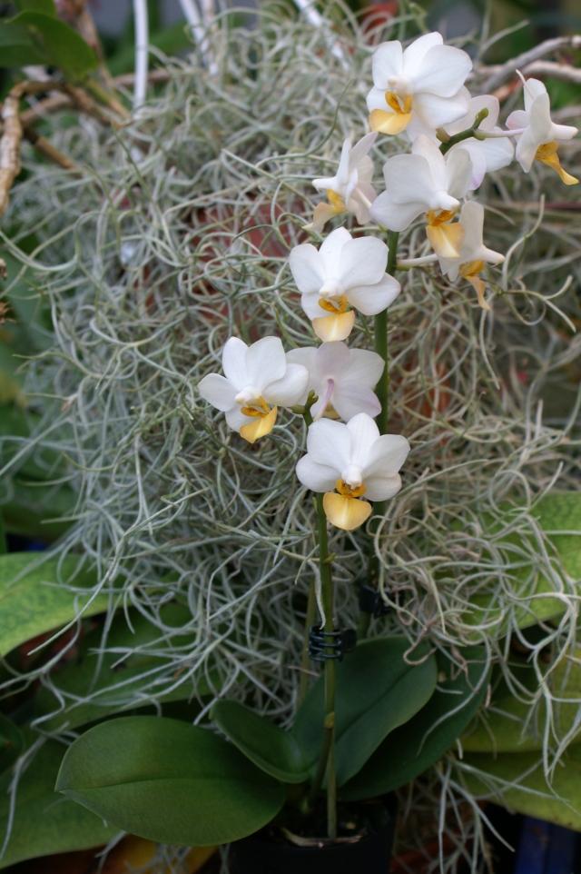 Phalaenopsis Liu´s Triprince (lobbii x (amabilis x pulcherrima)