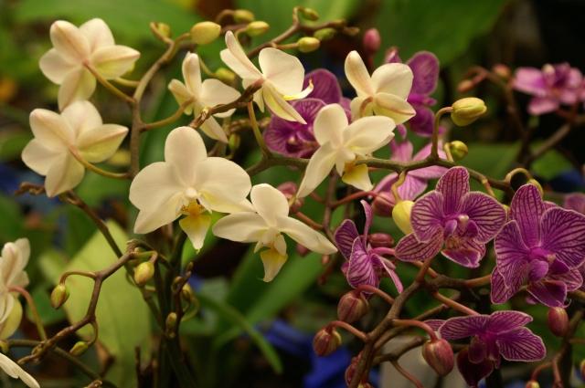 Phalaenopsis Timothy Christopher och onamnad småblommig