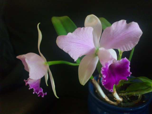 Cattleya walkeriana x rex