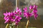 Cattleya bowringiana