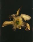Rhyncolaelia-digbyana-2