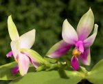 phalaenopsis_bellina_big