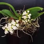 Tuberolabium kotoense