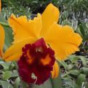 rhyncholaeliocattleya-tainan-gold-canary