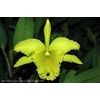 p_BRASSOLAELIOCATTLEYA PORT OF PARADISE GLENERVIES GREEN GIANT