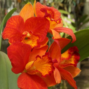rhyncattleanthe-shinfong-orange