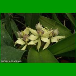 g_ENCYCLIA FRAGRANS