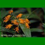g_bifrenaria-aureo-fulva