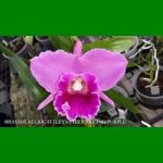 g_BRASSOLAELIOCATTLEYA CHIEF SAILING PURPLE