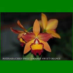 g_POTINARA CHIEF SWEET ORANGE SWEET ORANGE