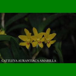 g_cattleya-aurantiaca-amarilla