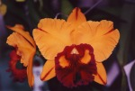 blc-tainan-gold-orchis
