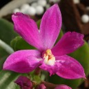 epidendrum-ruju-magic