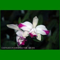 g_cattleya-intermedia-var-aquinii