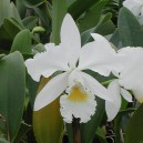 cattleya-mary-jane-proebstle