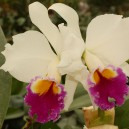 cattlianthe-jewel-box-sheherazade-guariantheaurantiaca-x-cattleya-anzac
