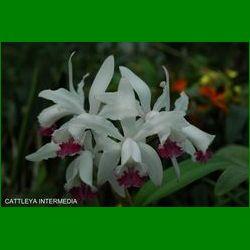 g_cattleya-intermedia