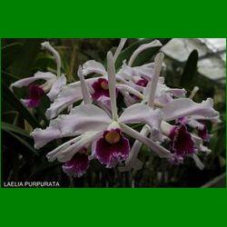 g_laelia-purpurata