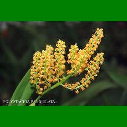 g_polystachia-paniculata