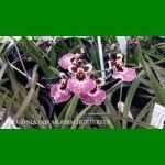g_tolumnia-jairak-firm-butterfly