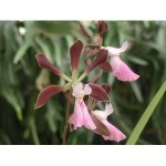 encyclia-cashen-s-chocolate-rose