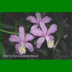 g_CATTLEYA HARRISONIAE