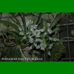 g_PODANGIS DACTYLOCERAS