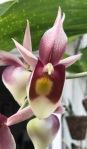 Catasetum pileatum x expansum