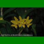 g_cattleya-aurantiaca-amarilla.jpg