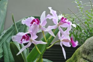 1920px-Laelia_purpurata_'Harford's_Blush'