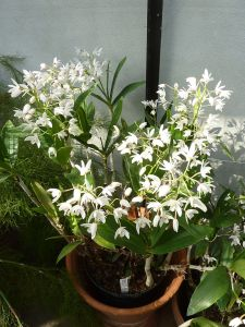 800px-Dendrobium_x_delicatum_(Orchidaceae)_plant