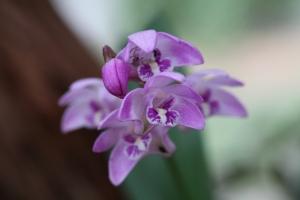 Pink_Rock_Orchid_-_Dendrobium_Kingianum_(7994896258)