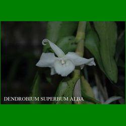 g_DENDROBIUM SUPERBUM ALBA