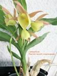 Catasetum Pierre Couret x expansum_B__