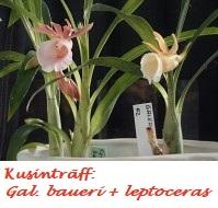 Kusinträff Gal. baueri + leptoceras