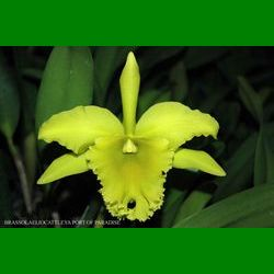 g_BRASSOLAELIOCATTLEYA PORT OF PARADISE GLENERVIES GREEN GIANT