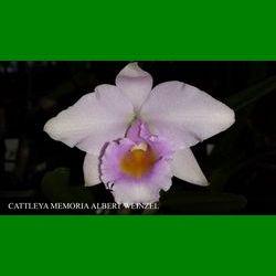 g_CATTLEYA MEMORIA ALBERT WEINZEL