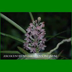 g_ascocentrum christensonianum