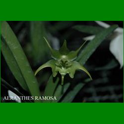 g_AERANTHES RAMOSA.JPG