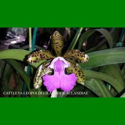 g_CATTLEYA LEOPOLDI LILACINA X ACLANDIAE