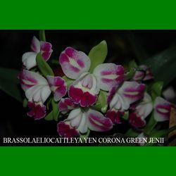 g_BRASSOLAELIOCATTLEYA YEN CORONA GREEN JENII
