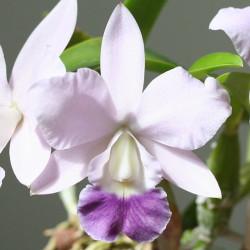 laeliocattleya-aloha-case-coerulea