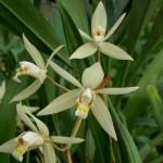 coelogyne-gardenaria