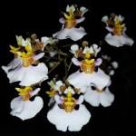 oncidium-variegatum